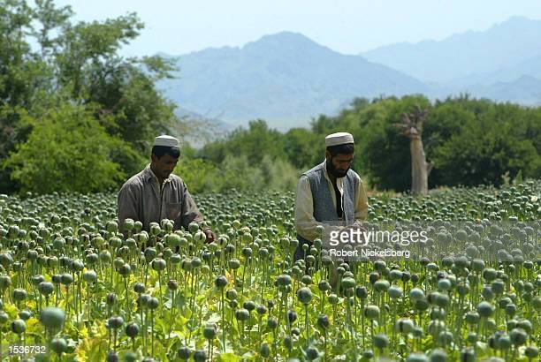 Afghan farmers tend to a poppy field, scoring the pods before scraping the resin later in the day, April 26, 2002 in Ghani Khel, Afghanistan. United...