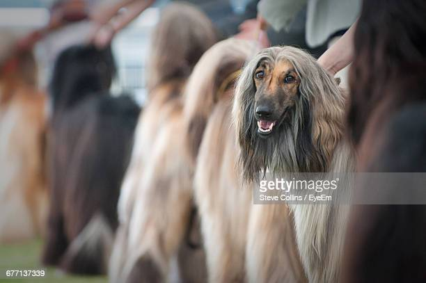 afghan hound at dog show - dog show stock pictures, royalty-free photos & images