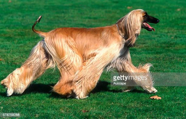 Afghan hound Canis familiaris walking
