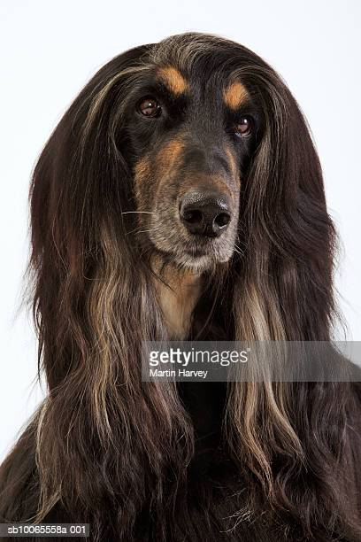 Afghan hound, close-up
