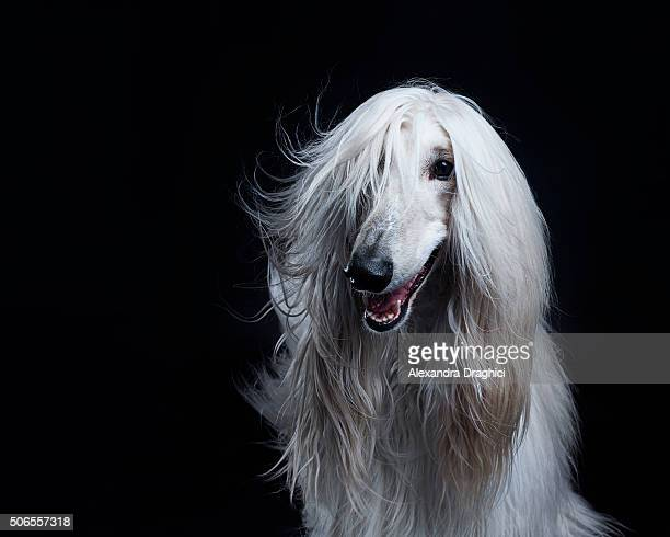 afghan hound dog - afghan stock pictures, royalty-free photos & images