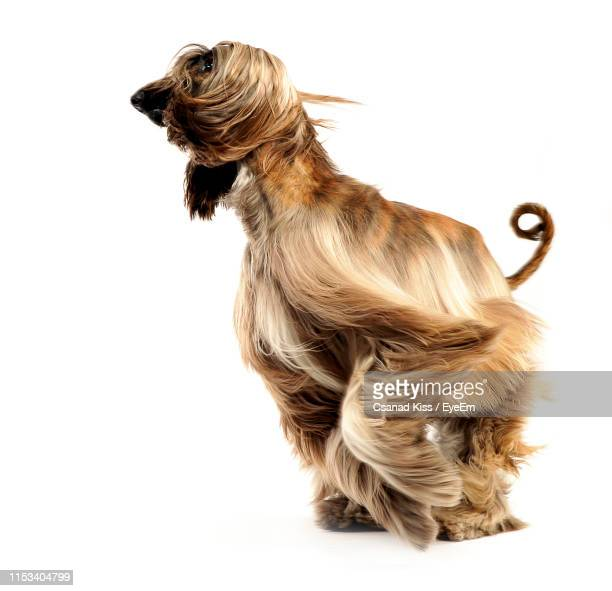 afghan hound jumping against white background - hound stock pictures, royalty-free photos & images