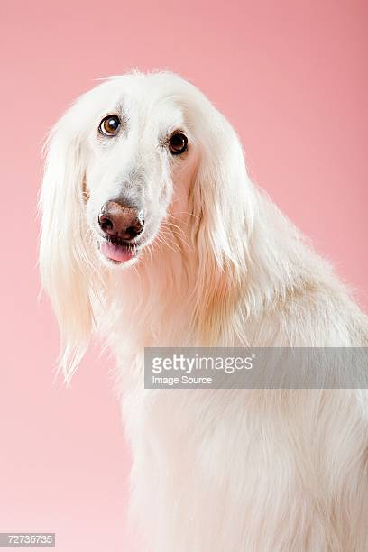 afghan hound - hound stock pictures, royalty-free photos & images