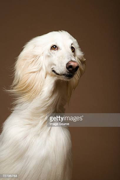 afghan hound - afghan stock pictures, royalty-free photos & images