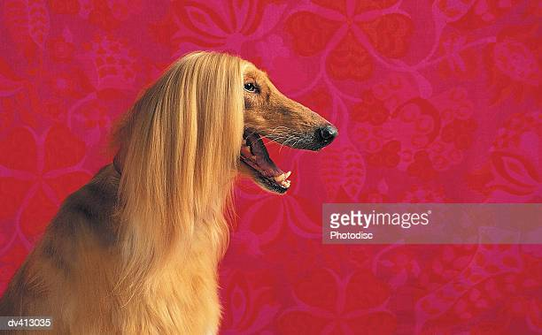 Afghan Hound profile