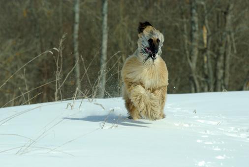 Afghan hound running freely 178891400