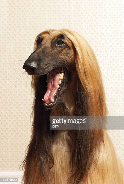 Afghan hound sitting in room