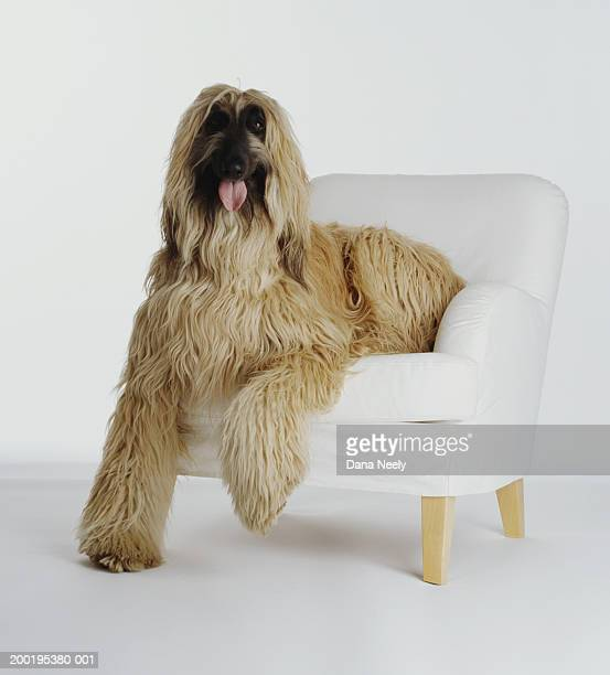 Afghan hound sitting on armchair