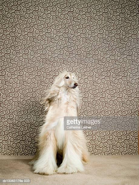 Afghan hound sitting on carpet, looking away