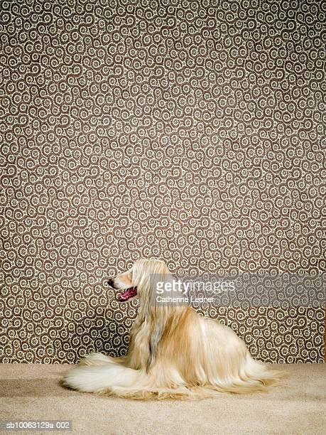 Afghan hound sitting on carpet, mouth open