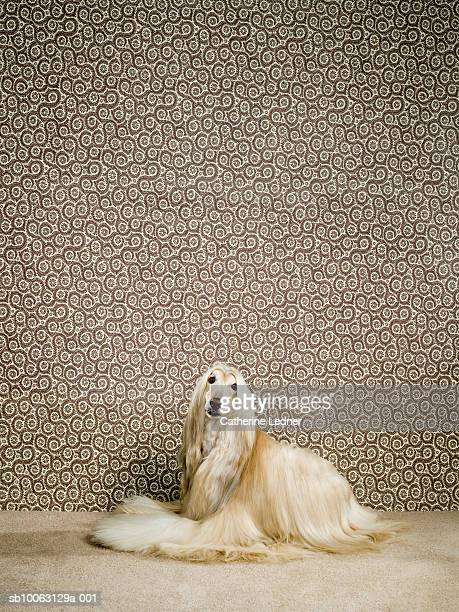 Afghan hound sitting on carpet