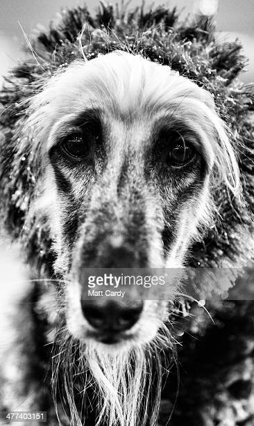 A afghan hound waits to be judged in a show ring on the second day of the Crufts dog show at the NEC on March 7 2014 in Birmingham England Said to be...
