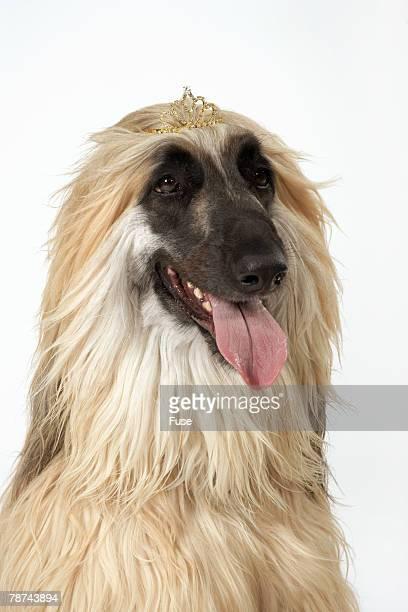 Afghan Hound Wearing Tiara