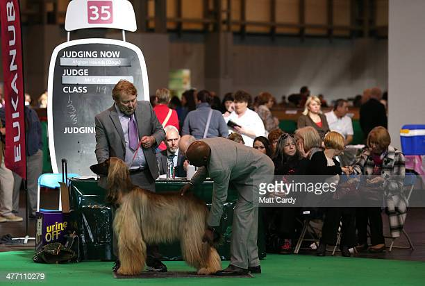 Afghan hounds are judged in a show ring on the second day of the Crufts dog show at the NEC on March 7 2014 in Birmingham England Said to be the...