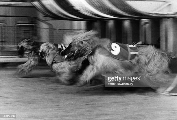 Afghan hounds bolt out of the traps at the beginning of a race at Crayford Stadium