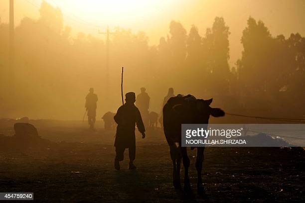 Afghan livestock owners herd their animals to the market during sunrise on the outskirts of Jalalabad Nangarhar province on September 5 2014...