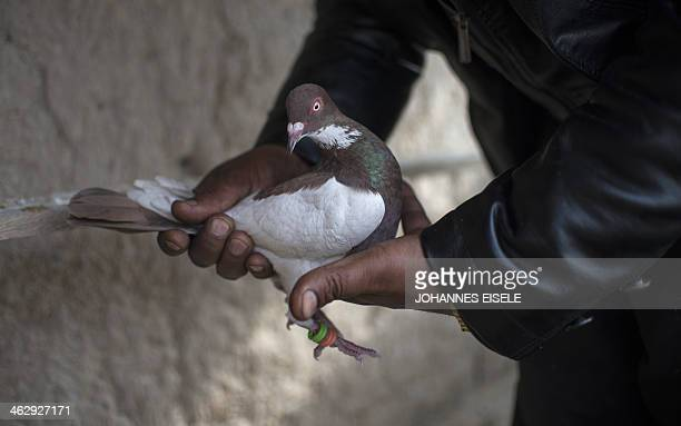 Afghan man Noor Mohammad holds a pigeon on the rooftop of his home in the old quarters of Kabul on January 16 2014 Noor has a flock of fifteen...