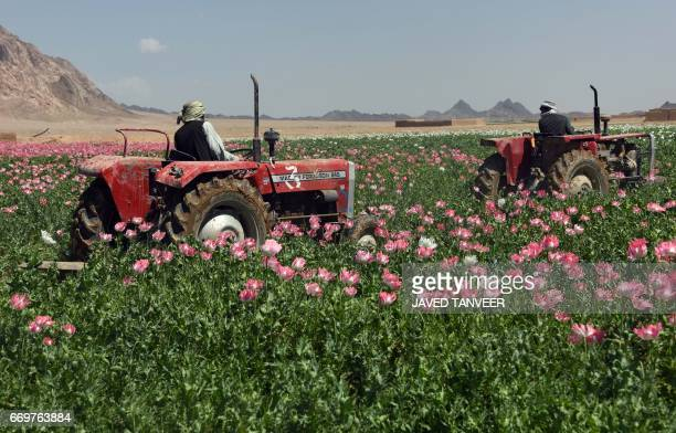 Afghan men drive tractors as they destroy an illegal poppy field for Afghan security forces in Maiwand district of Kandahar province on April 18 2017...