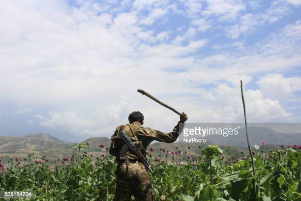 Afghan policemen destroy poppy fields in Badakhshan province one of Afghanistan's top opium producers on August 9 2017 In the heart of Afghanistan's...