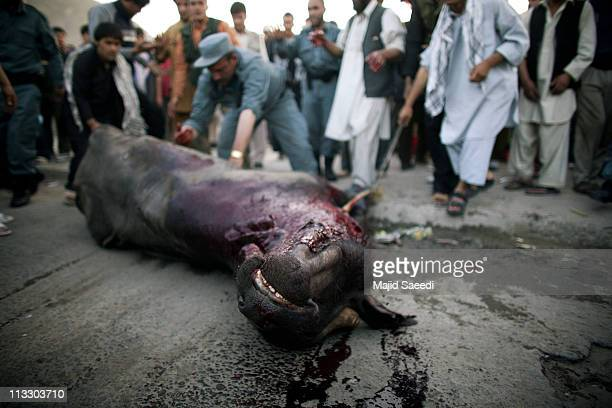 Afghan policemen tackle a bull that went out of control on April 30 2011 in Kabul Afghanistan The uncontrollable bull injured five Afghans and...