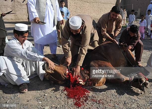 Afghan refugees in Pakistan slaughter a bull after offering Eid prayers on the outskirts of Peshawar on November 6 2011 Eid the festival of sacrifice...