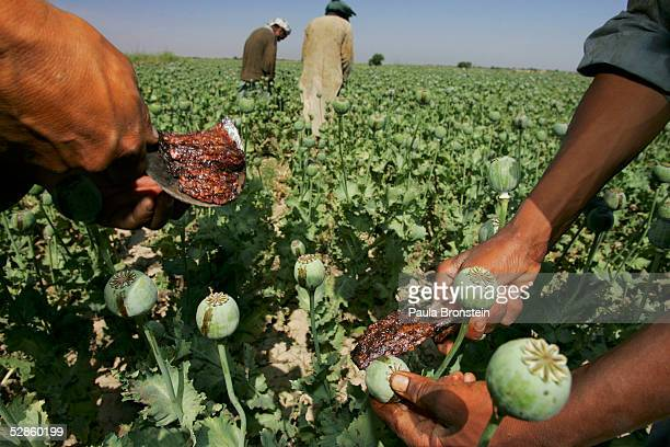 Afghan workers scrape the opium sap seeping out of the poppie bulb May 17, 2005 in Chimtal province, Afghanistan. Workers in the field are paid 200...