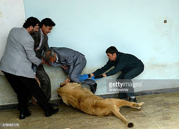Afghan zookeeper Qurban Ali attempts to intervene as Marjan a lion plays at his cage in Kabul's zoo in Kabul on March 18 2014 Kabul zoo unveiled its...