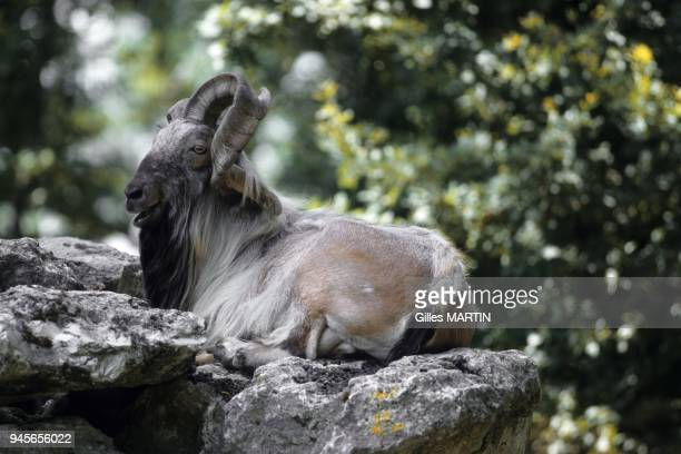 Afghanistan adult markhor lying down a rock