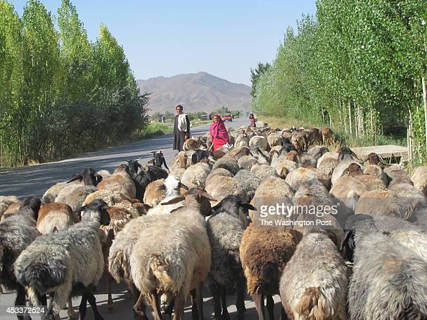 A nomad shepherd girl and her father herd their flock of sheep along a road through Logar Province The bucolic region of poplar trees green fields...