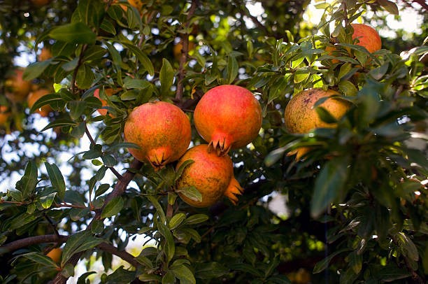 Afitos Greece ripe Pomegranate on a tree