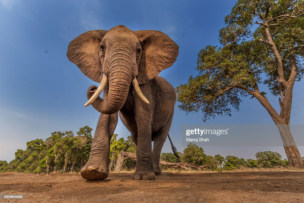 Afrcan Elephant on the move : Stock Photo
