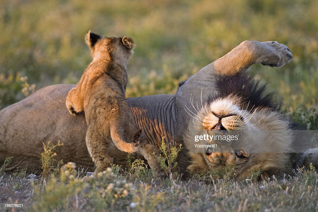 Africa, Botswana, Adult male lion (Panthera leo) and cub : Stock Photo