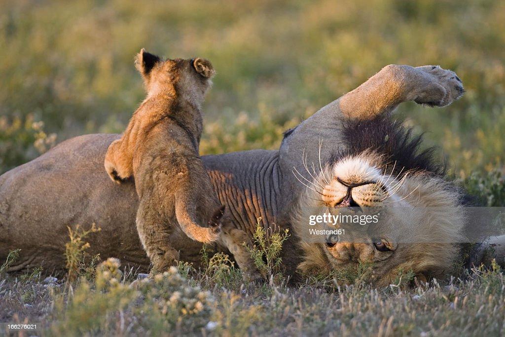 Africa, Botswana, Adult male lion (Panthera leo) and cub : Foto stock