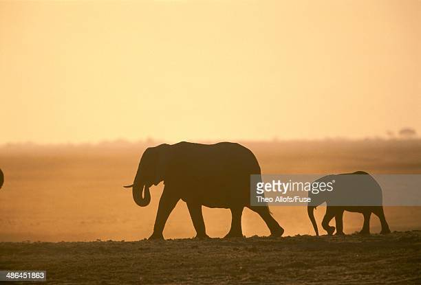 africa, botswana, chobe national park, elephant, mother with calf, dusk - public domain imagens e fotografias de stock