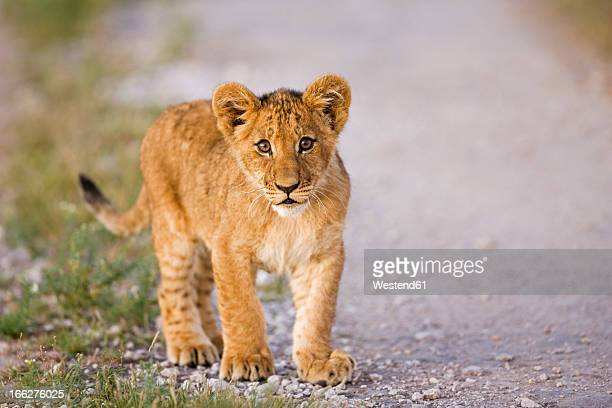 Africa, Botswana, Lion cub (Panthera leo leo), close-up