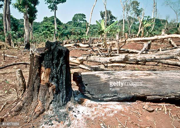 Africa, Central African Republic, View Of Burnt Trees In The Jungle. Africans Do This For Various Reasons including: To Produce Charcoal To Sell, For Fun, Because They Can, To Distance Their Huts From Potential Danger, Such As Snakes. The Next Sentence Is