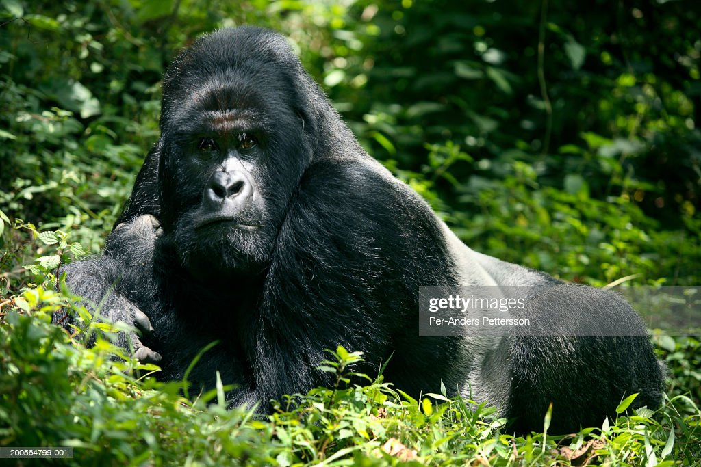 Male mountain gorilla resting in forest