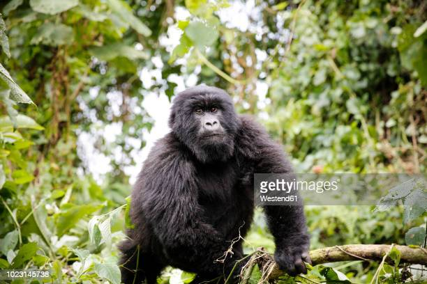 africa, democratic republic of congo, mountain gorilla in jungle - virunga national park stock pictures, royalty-free photos & images