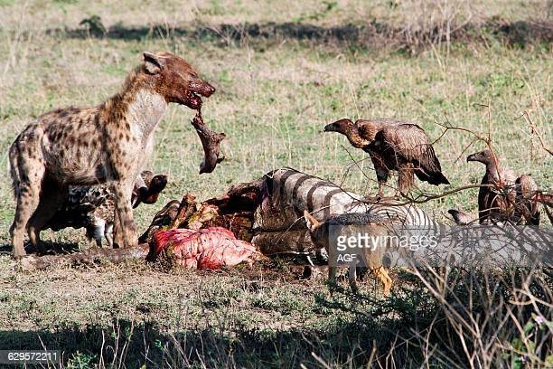 Africa Hyena Feeding On Carcass