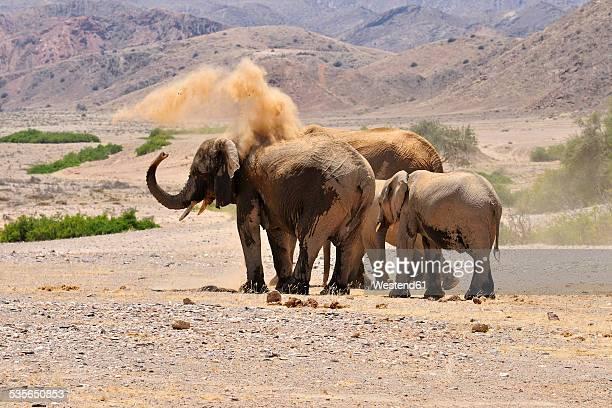 Africa, Kunene, four African elephants, Loxodonta africana, at Hoanib River