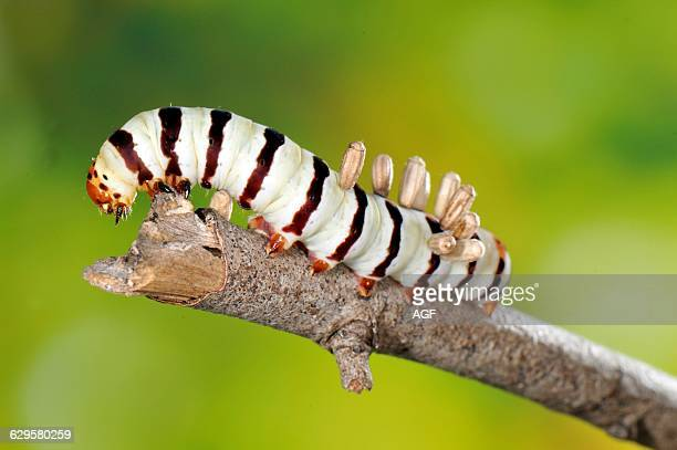 Africa Mozambique Caterpillar With Wasp Parasite Eggs