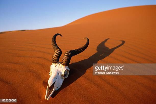 Africa, Namib Desert, head of a