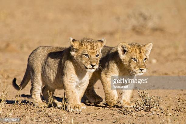 africa, namibia, african lion cubs (panthera leo) - lion cub stock photos and pictures