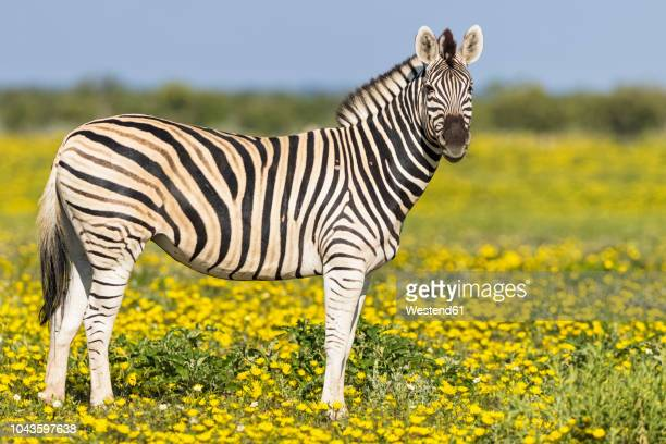 africa, namibia, etosha national park, burchell's zebras, equus quagga burchelli, standing on yellow flower meadow - zebra stock pictures, royalty-free photos & images