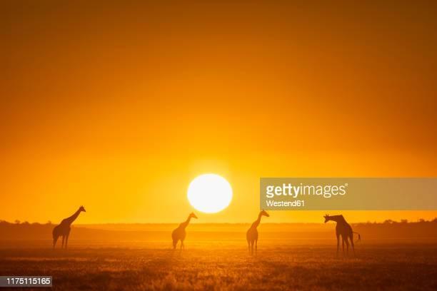 africa, namibia, etosha national park, giraffes at sunset, giraffa camelopardalis - namibia fotografías e imágenes de stock