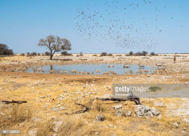 africa, namibia, etosha national park, okaukuejo, waterhole - billabong water stock photos and pictures