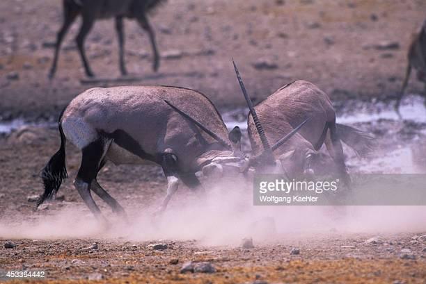 Africa Namibia Etosha National Park Oryx Fighting