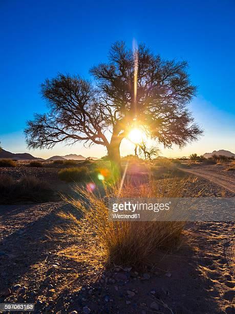 Africa, Namibia, Hardap, tree in back light in Kulala Wilderness Reserve at Namib desert