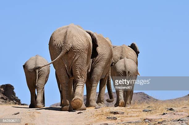 Africa, Namibia, Kaokoland, group of African elephants, Loxodonta africana, back view