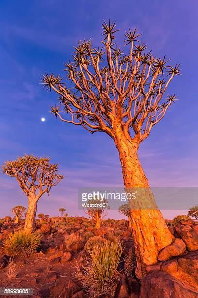 Africa, Namibia, Keetmanshoop, Quiver Tree Forest at sunset